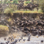 Wildebeest Migration in Maasai Mara National Reserve